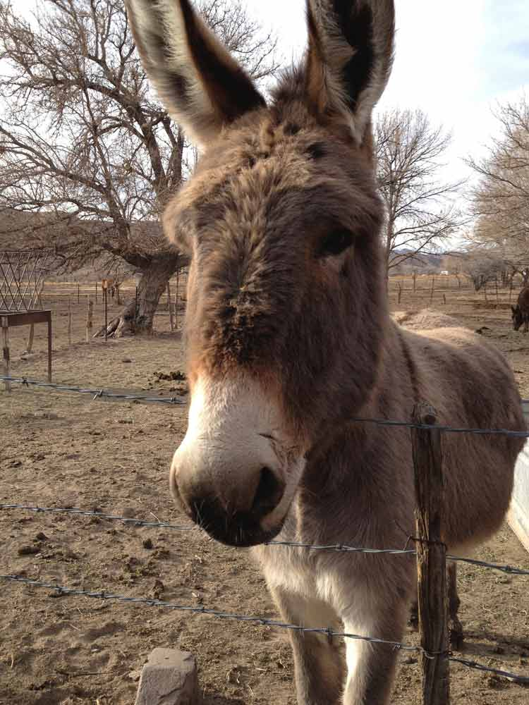 burro in Placitas