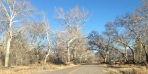 sycamores at Animas Creek